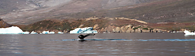 South Greenland kayaking trip, whale in Ikerssuaq fjord