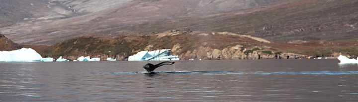 kayaking trips in greenland whale